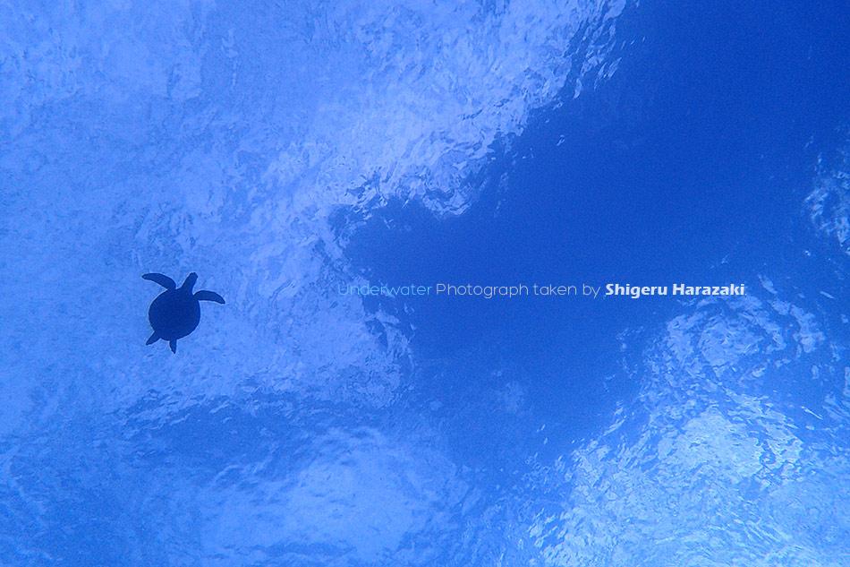 空飛ぶウミガメ