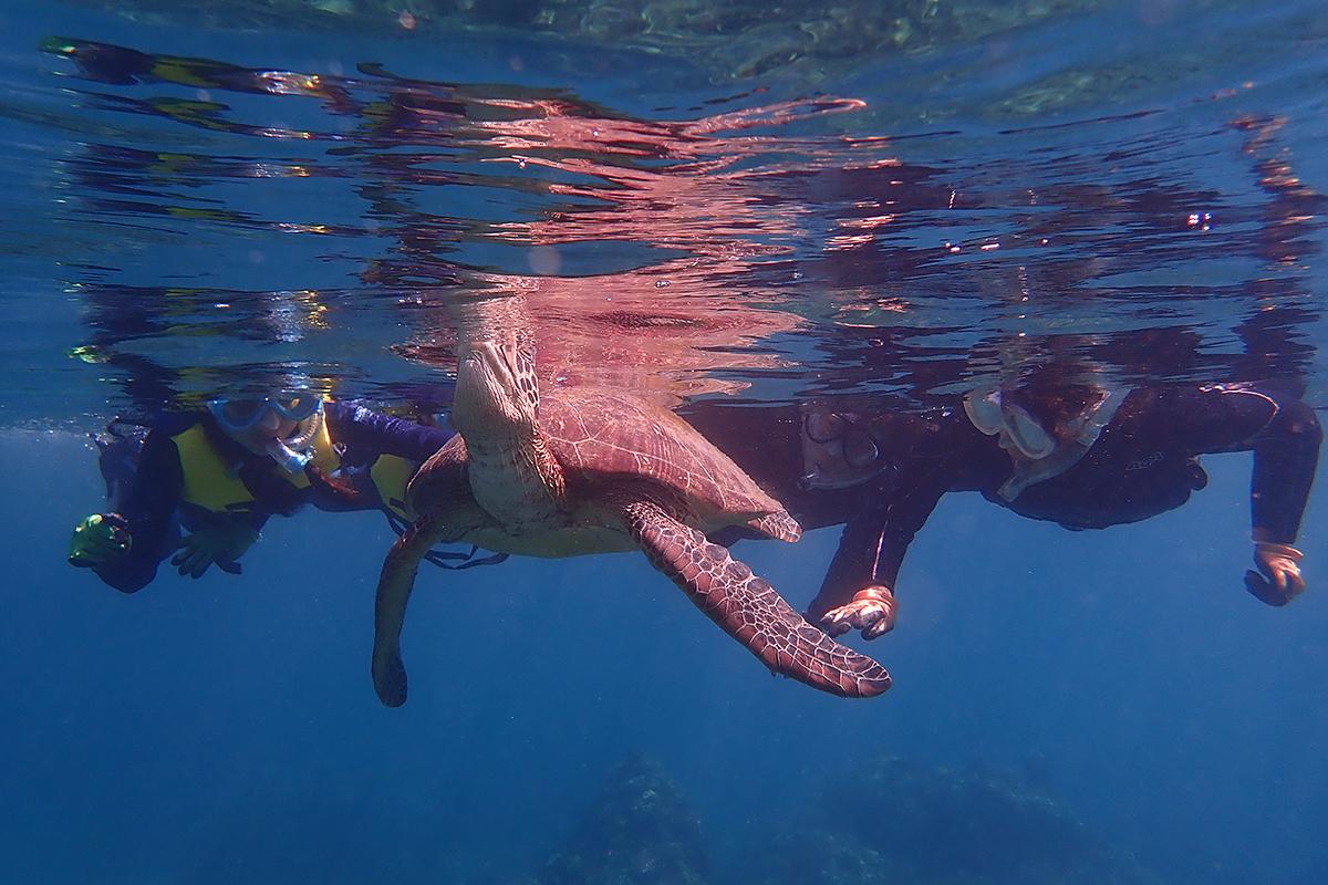 目の前で息継ぎするアオウミガメ