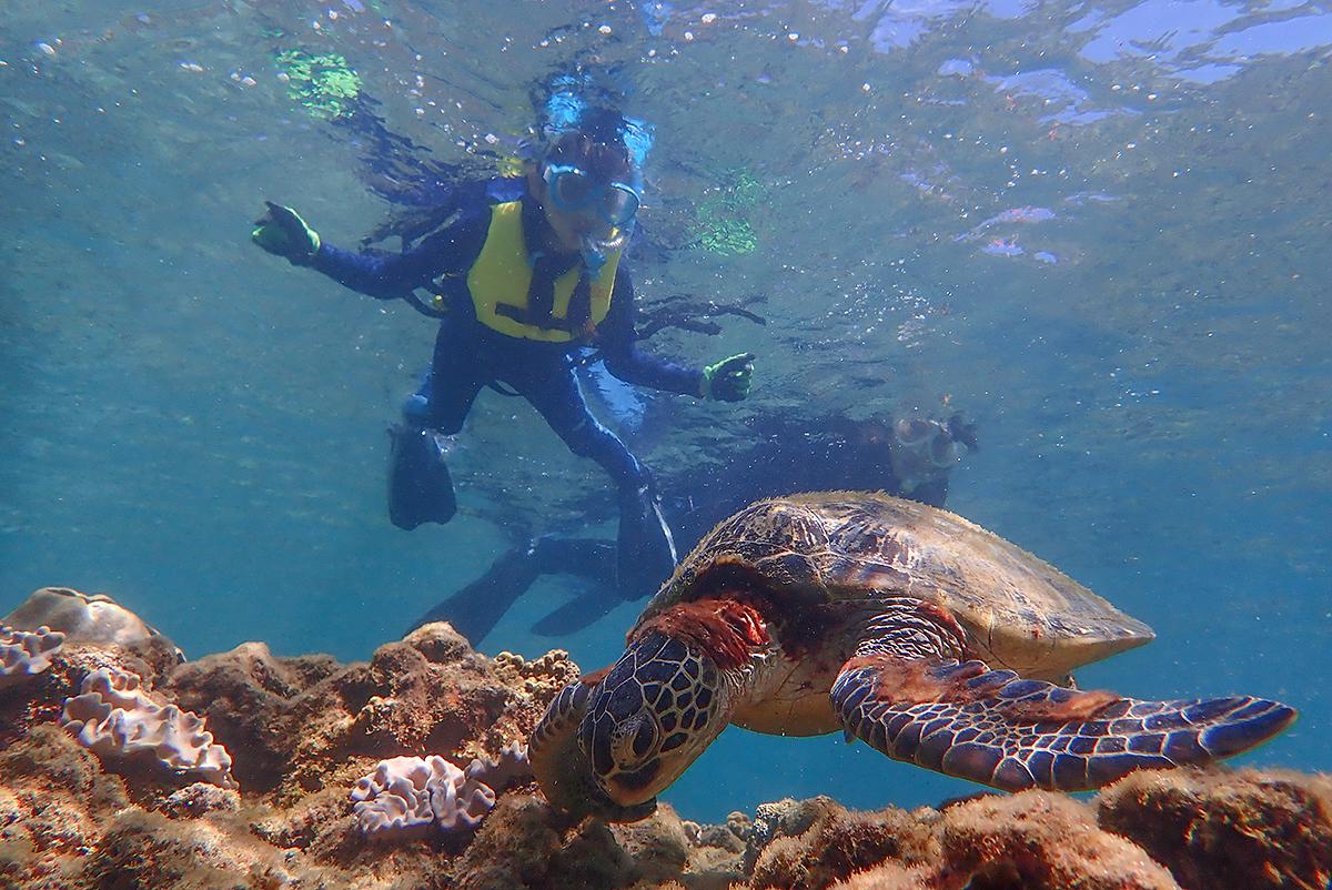 浅場で海藻を食むアオウミガメ