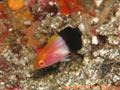 キツネベラの幼魚