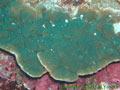 サンゴが伊豆にやってきた