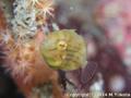 アオサハギの幼魚