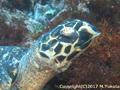 タイマイ – Hawksbill turtle